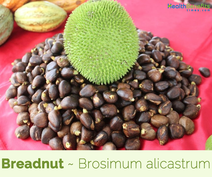 Breadnut Facts, health benefits & Nutrition