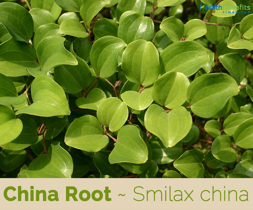 China Root facts and health benefits