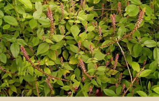 Facts and benefits of Devil's Horsewhip (Chaff Flower)