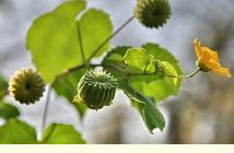 Indian Mallow medicinal benefits