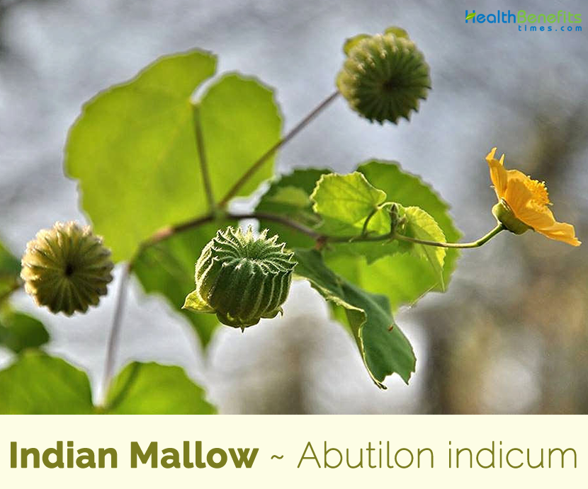Indian Mallow medicinal benefits