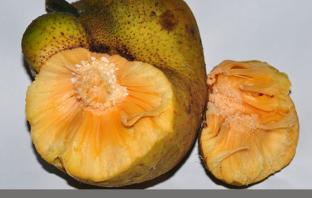 Monkey Fruit Description and uses