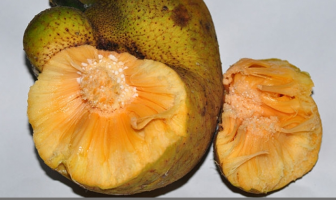 Monkey Fruit Description and uses