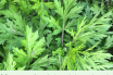 Mugwort health benefits