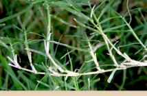 Bermuda Grass health benefits and uses