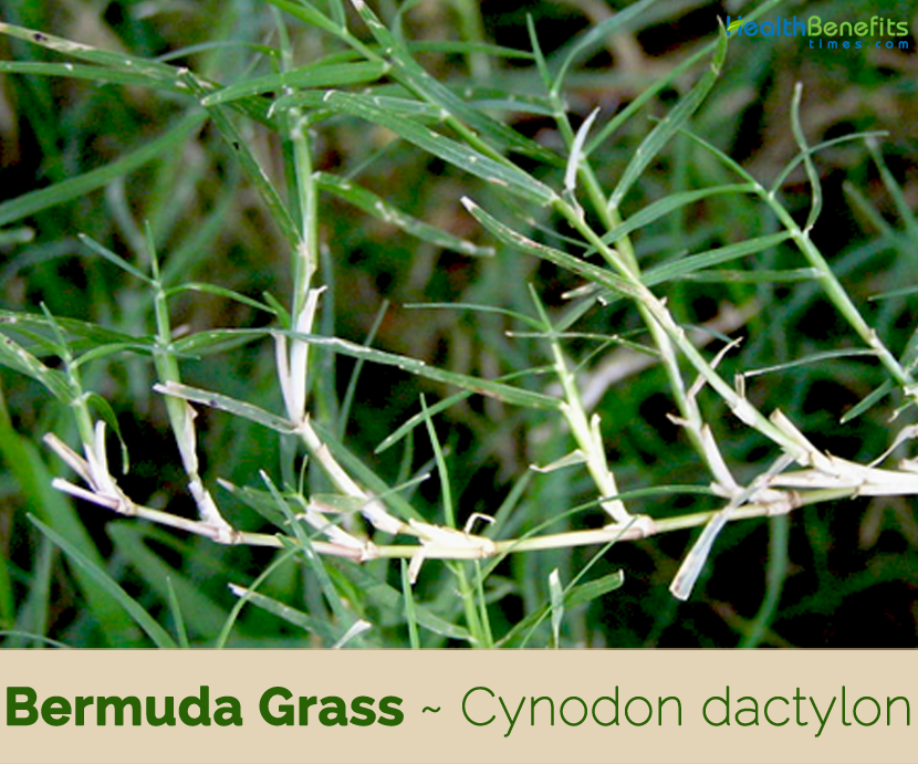 Bermuda Grass health benefits and uses
