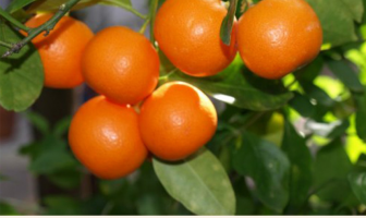 Calamondin facts