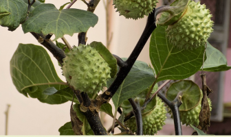 Facts and health benefits of Thorn Apple (Datura)