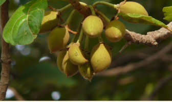 Mahua benefits and uses