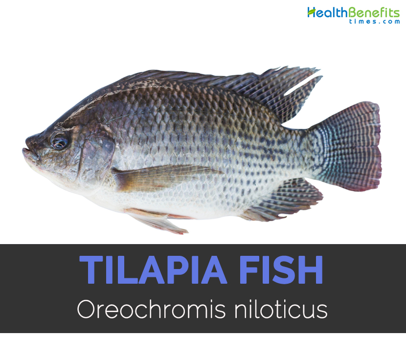 Tilapia fish Facts, Health Benefits and