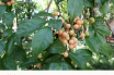 Wild Honeytree facts