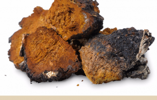 Chaga mushroom benefits and uses