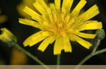 Hawkweed health benefits