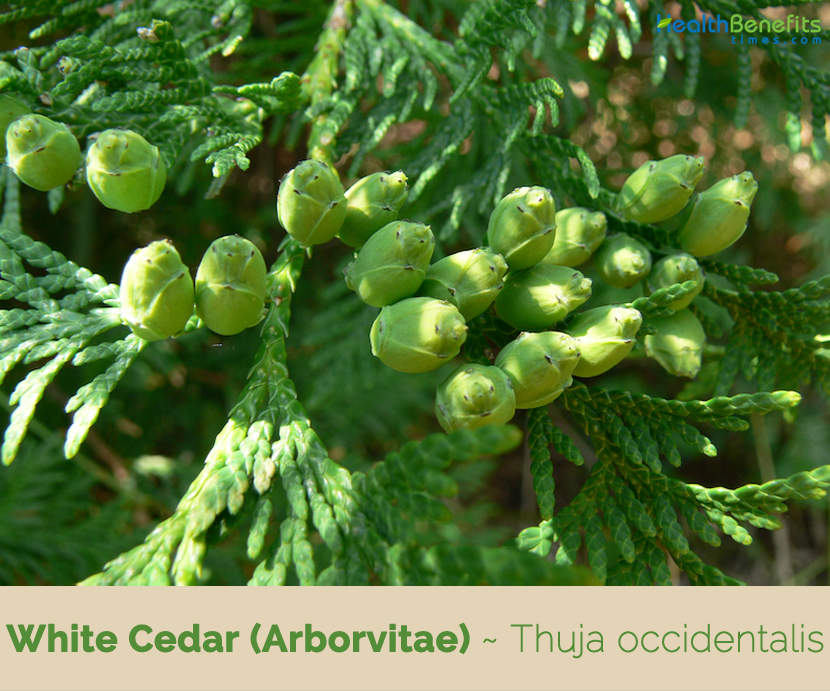 Health benefits and uses of White Cedar (Arborvitae)