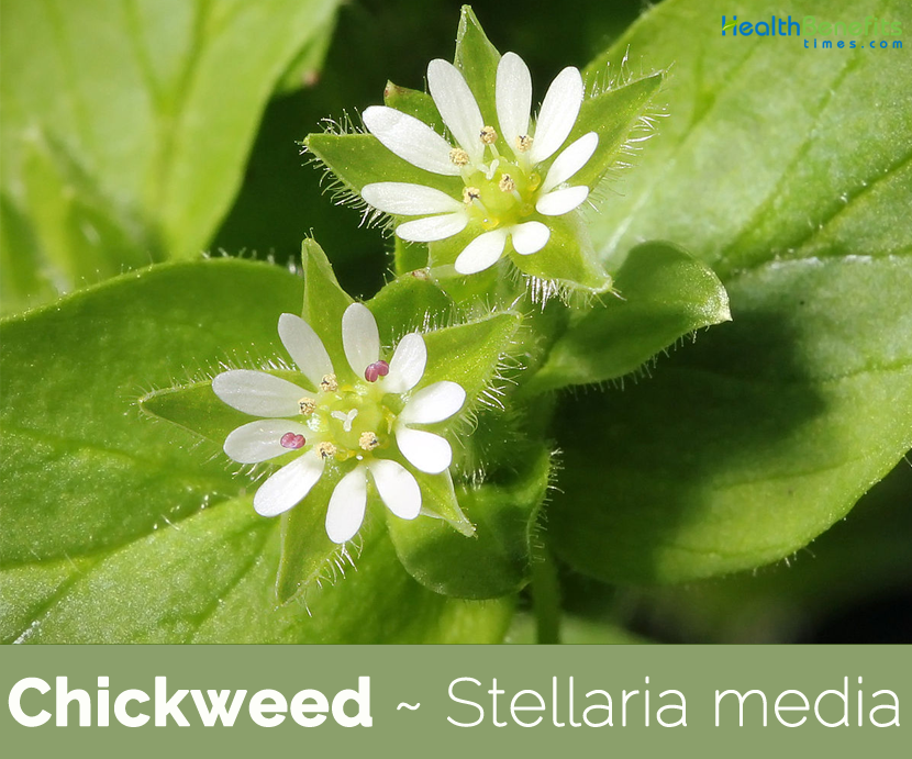 Health benefits of Chickweed