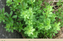 Health benefits of Cleavers