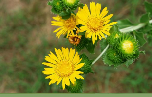 Health benefits of Curlycup Gumweed (Grindelia)