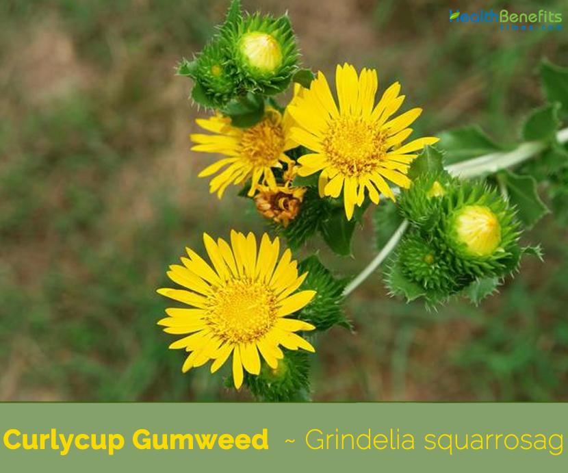 Health benefits of Curlycup Gumweed (Grindelia)
