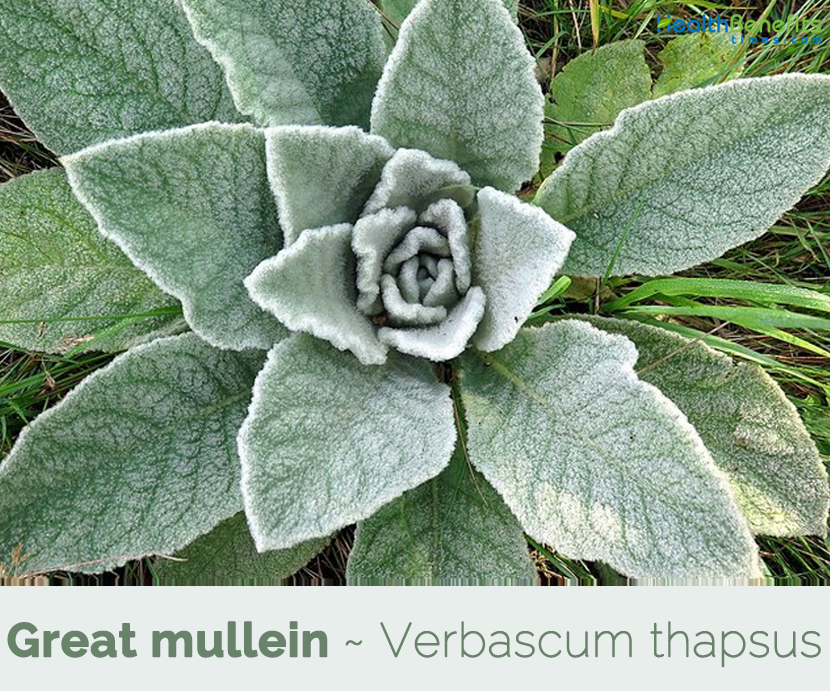 Health benefits of Great mullein