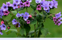 Lungwort health benefits