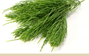 Medicinal use of Horsetail