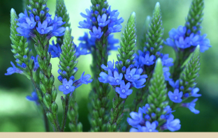 Medicinal uses of Blue vervain
