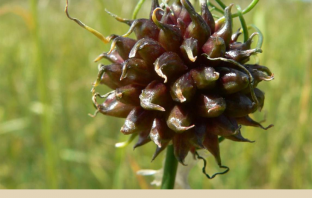 Wild onion benefits and uses