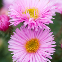 Aster novae-angliae 'Pink Victor'