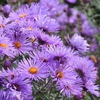 Aster novae-angliae 'Purple Cloud'