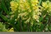 Facts and benefits of Lousewort (Pedicularis)