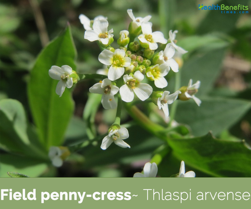 Field penny-cress health benefits
