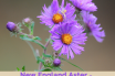 Health benefits of New England Aster