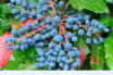 Health benefits of Oregon Grape