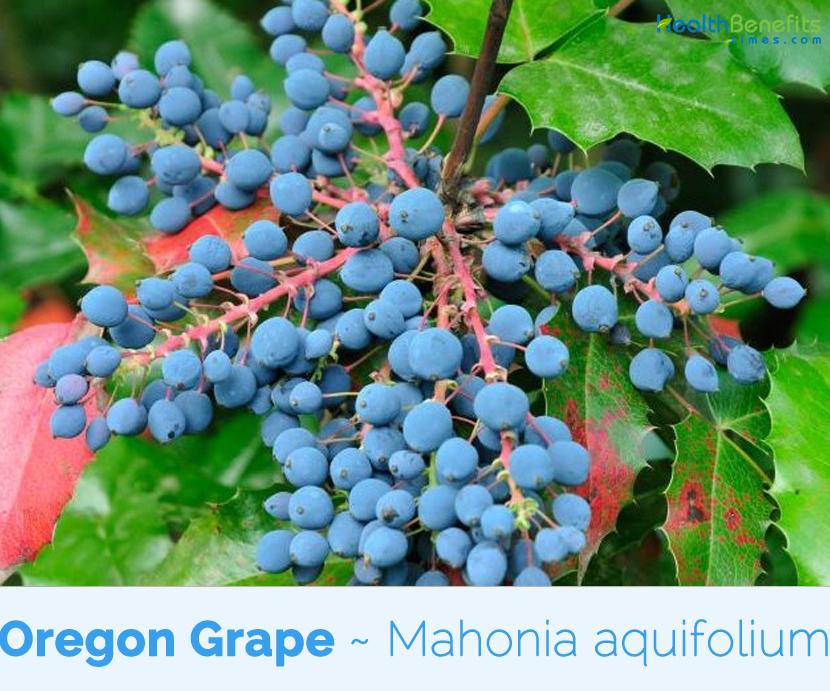 Bienfaits pour la santé du raisin de l&#39;Oregon &quot;width =&quot; 830 &quot;height =&quot; 691 &quot;/&gt;</a> Mahonia aquifolium, originaire de l'Ouest de l'Amérique du Nord, de la Colombie-Britannique à la Californie et à l'est jusqu'à l'Idaho et au Montana, a été introduit en Europe en 1822 dans le Pacifique Nord-Ouest. Allemagne M. aquifolium est la fleur d'état de l'Oregon, connue sous de nombreux noms communs, y compris l'épine-vinette à feuilles de houx, le raisin Oregon, le raisin de montagne, le raisin Oregon brillant, le grand raisin Oregon, le Berberis, feuille de houx, mahonia, raisin de l&#39;Oregon, raisin Piper Oregon, raisin Oregon, houx de l&#39;Oregon, épine-vinette, épine-vinette de l&#39;Oregon, houx de l&#39;Oregon, mahonia traînant, baie de la jaunisse, bois aigre, truie, Buisson de Pepperidge, épine-aigre, raisin de montagne de l&#39;Oregon, raisin sauvage de l&#39;Oregon, épinette à feuilles de houx, épine-vinette de Californie, houx de raisin de l&#39;Oregon et grande mahonia.</p><p>Nom du genre Mahonia rend hommage à Bernard M'Mahon, horticulteur américain et auteur du Calendrier du jardinier américain (1806). L&#39;épithète spécifique aquifolium représente «à feuilles pointues» (comme dans Ilex aquifolium, le houx commun), en référence au feuillage épineux. Les racines et les rhizomes sont utilisés en médecine depuis des centaines d'années pour traiter les infections en raison de leurs puissantes propriétés antibiotiques. La plante contient les alcaloïdes berbérine et hydrastine. La berbérine est extrêmement bactéricide, amiboïde et trypanocide. Une étude pharmacologique a montré que les extraits de raisin de l&#39;Oregon réduisaient l&#39;inflammation et stimulaient les globules blancs appelés macrophages. Les racines sont utilisées en herbologie comme aide nutritionnelle pour les systèmes digestif et circulatoire. Le fruit est un excellent laxatif doux et sûr.</p><p> <strong>Description de la plante</strong></p><p>Le raisin de l&#39;