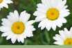 Health benefits of Oxeye Daisy