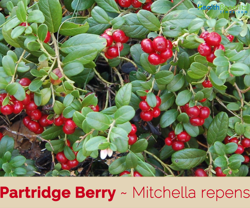 Health benefits of Partridge Berry