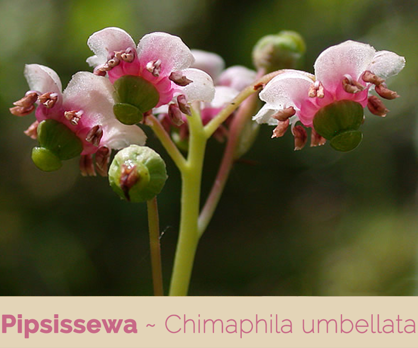 Health benefits of Pipsissewa