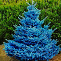 Colorado-Blue-Spruce