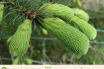 Facts and benefits of Spruce