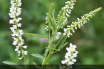 Facts and benefits of Sweet Clover