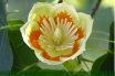 Facts and benefits of Tulip Tree