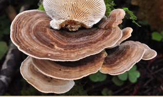 Facts and benefits of Turkey Tail