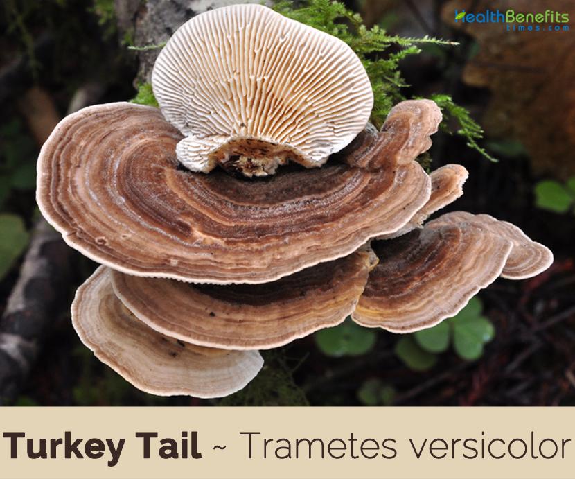 Fakten und Vorteile von Turkey Tail &quot;width =&quot; 830 &quot;height =&quot; 691 &quot;/&gt;</a></p><div id=