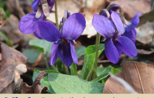 Facts and benefits of Violet