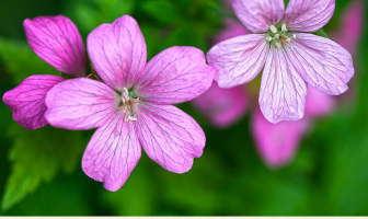 Facts and benefits of Wild Geranium