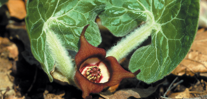 Facts and benefits of Wild Ginger