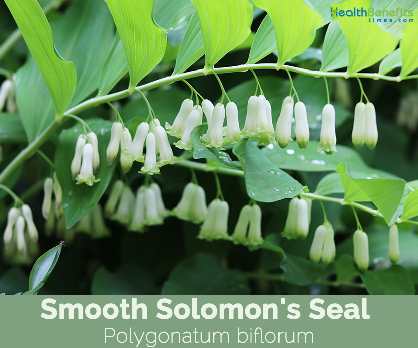 Health benefits of Smooth Solomon's Seal