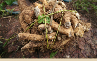 Health-benefits-of-Wild-Yam