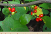 Spicebush facts and health benefits
