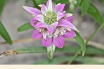 Spotted Beebalm facts and benefits
